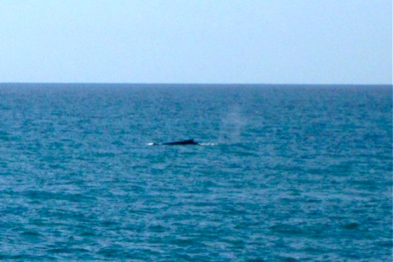 whale off Magnetic Island